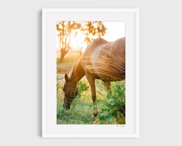 photograph of horse 7 Golden Blaze